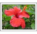Red Hibiscus- Hawaiian Flower