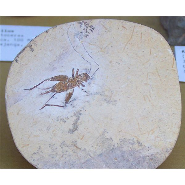 Cretaceous Orthoptera fossil