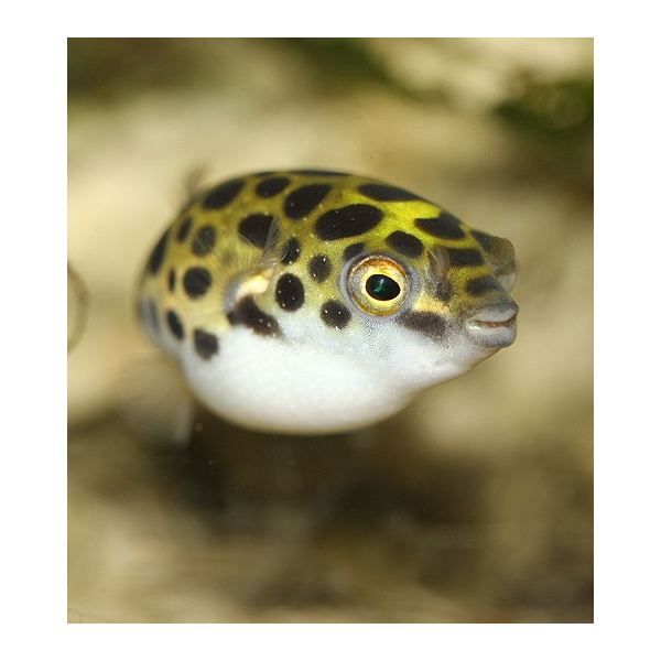 Puffer Fish Facts and Interesting Info