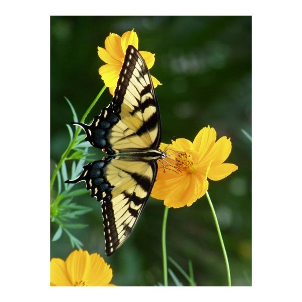 Interesting Tiger Swallowtail Butterfly Facts: Life Cycle, Habitat, Diet and More