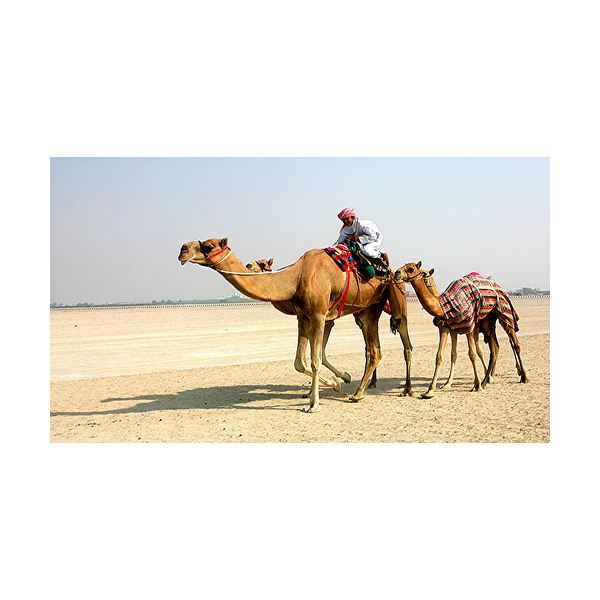 resources woodlands junior kent sch uk homework adaptations camels