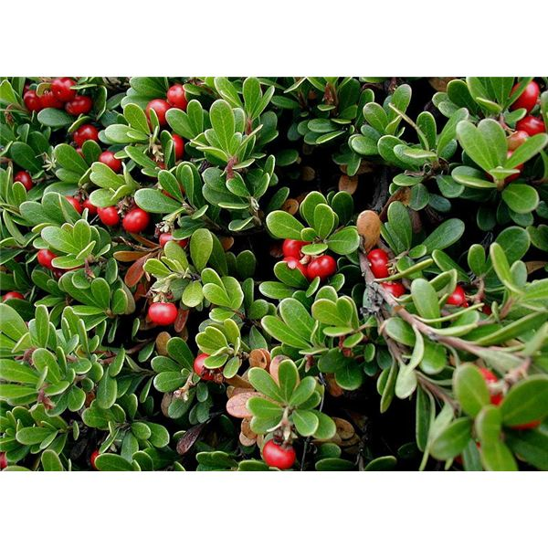 Bearberry Tea: Benefits, Precautions and Preparation
