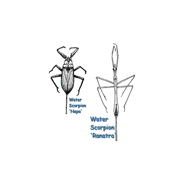 water scorpion facts  learn about these amazing water bugs