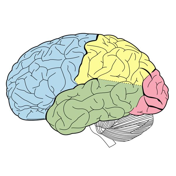 Unlabeled Lobes of the Brain