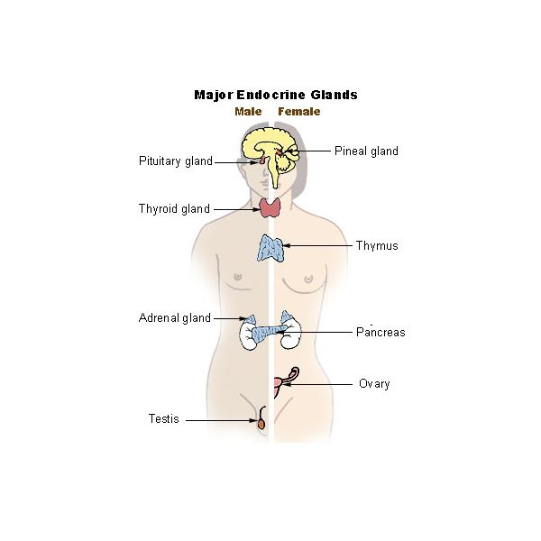 How Does The Endocrine System Work Learn About The Glands And How