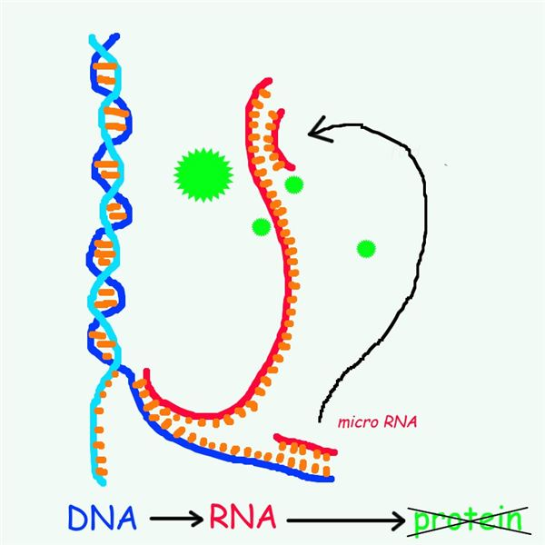 The Role of Micro RNA in Gene Expression