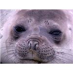 Baby Southern Elephant Seal