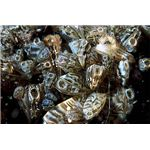 A cluster of zebra mussels, alive and underwater