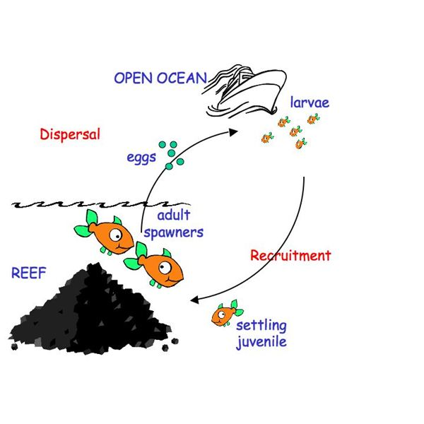 Reef Fish Life Cycle Diagram