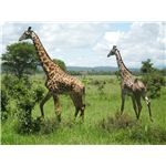 Associate the number of giraffes and legs to groups and objects in the group.