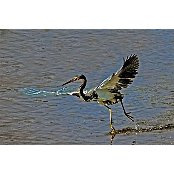 Tricolor Heron in Gulf of Mexico