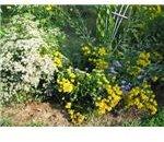 boneset herb with goldenrod