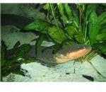 Electric eel (New England Aquarium, Boston Massachusetts)